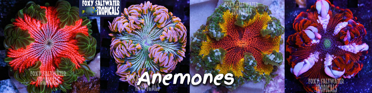 anemone for sale, rock flower anemone, sea anemone
