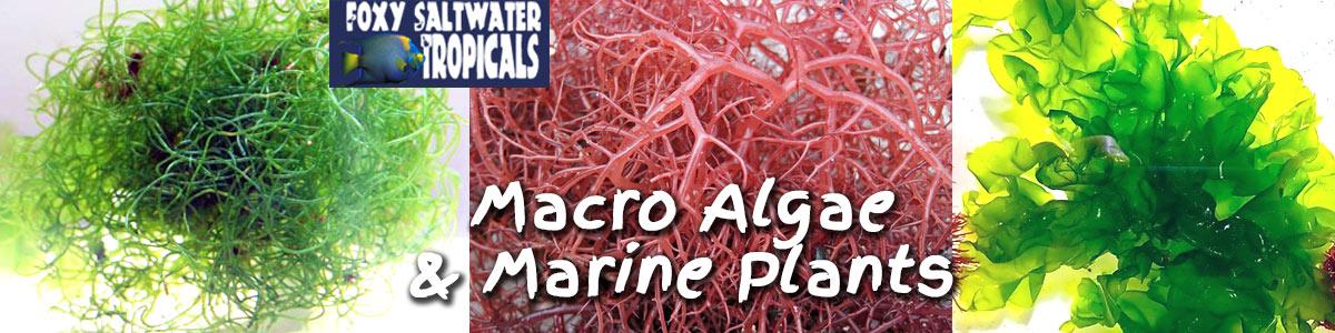 Marine Plants and Saltwater MacroAlgae For Sale